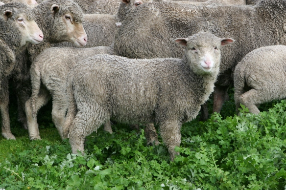 merino-lamb-1337334