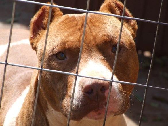 dog-pitbull-1366174